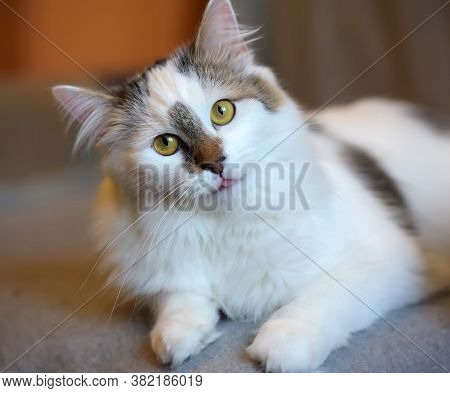 Beautiful Cute Fluffy White Cat With A Spot