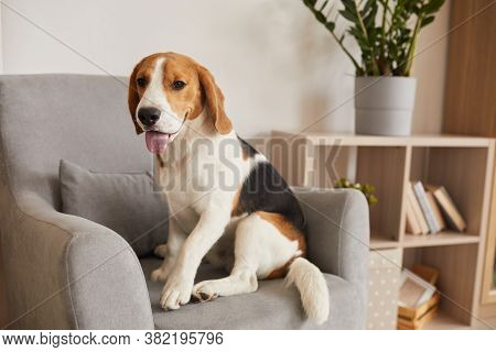 Warm Toned Full Length Portrait Of Tricolor Beagle Dog Sitting In Comfortable Armchair Of Modern Hom