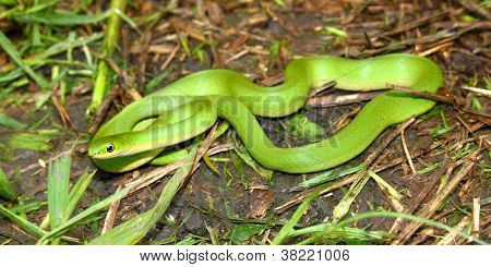 Beautiful Smooth Green Snake (Opheodrys vernalis) in a prairie of Illinois. poster