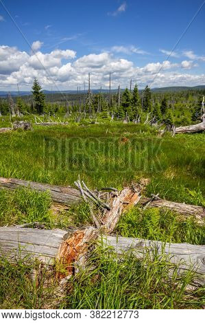 Fallen, Decomposing Fir Tree Trunks On The Great Arber Mountain, With A New Forest, Regrowing In The