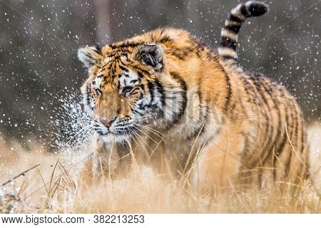 Siberian Tiger Running. Beautiful, Dynamic And Powerful Photo Of This Majestic Animal. Set In Enviro