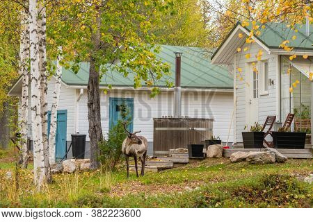 Wild reindeer at the backyard of finnish country house with small outdoor sauna. Ruska autumn season in Finland