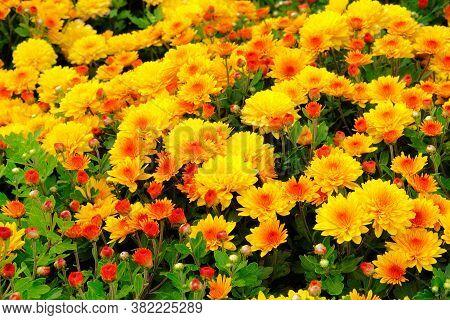 Chrysanthemums In Botanical Park, Greenery In City. Orange Flowers Chrysanthemums In Autumn. Bloomin