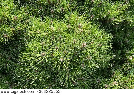 Young Green Branches Of Pine In Garden, Closeup. Spring Nature Decoration. Pine-tree And Conifer In