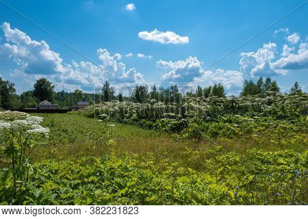 Hogweed Thickets On The Edge Of A Russian Village On A Summer Day.