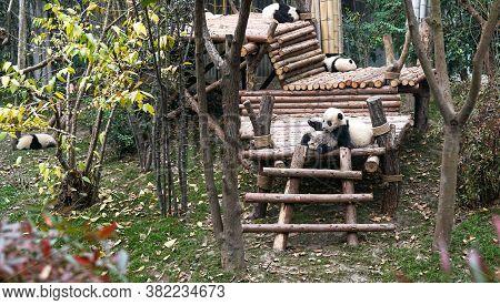 Chengdu, China - January 06, 2017: Chengdu Research Base Of Giant Panda Breeding, Baby Pandas Sleepi