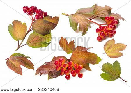 Set Of Branches Of Autumn Viburnum On White Background, Isolate