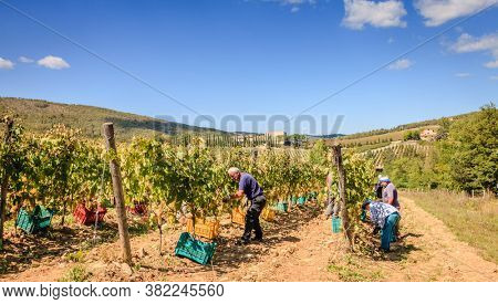 Tuscany, Italy, September 21, 2015: farmers are harvesting grapes for wine making at a vineyard in Tuscany, Italy