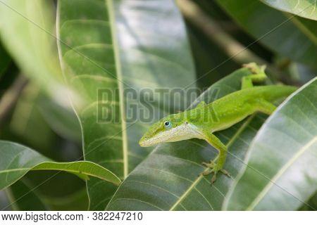 A Green Gecko On A Green Leaf