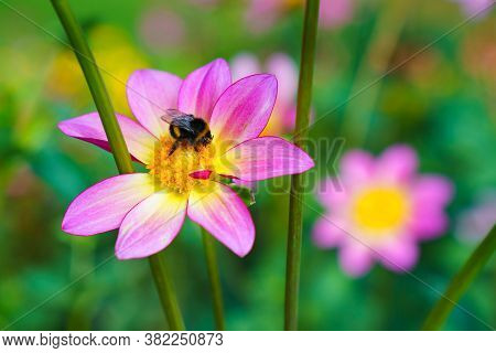 Beautiful Purple Cosmos Flower On Green Blured Background. Bumble Bee On The Flower.