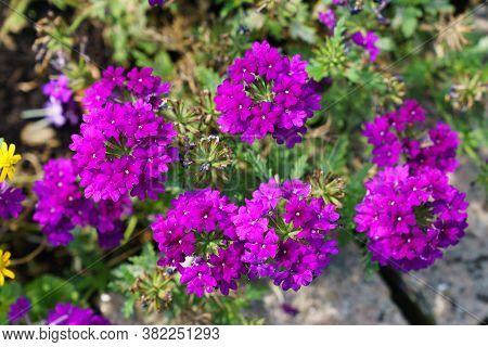 Purple Garden Verbena Blooming Verbena Bonariensis Flower On Bed.