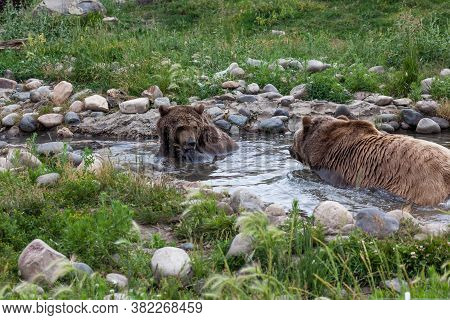 A Large Male Grizzly Bear Walks In A Shallow Pond Towards A Female Grizzly As She Prepares To Splash