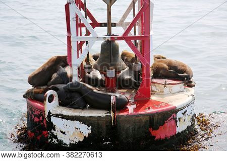 Sea Lions. Sea Lions relaxing in the sun.  Sea lions sleeping on an ocean buoy.