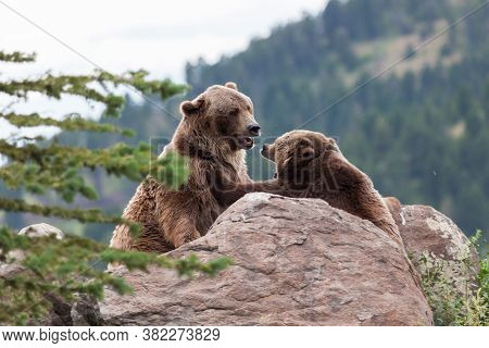 A Female Grizzly Bear Pushing Back A Male Grizzly Bear With Her Front Paw As She Shows Him Her Displ