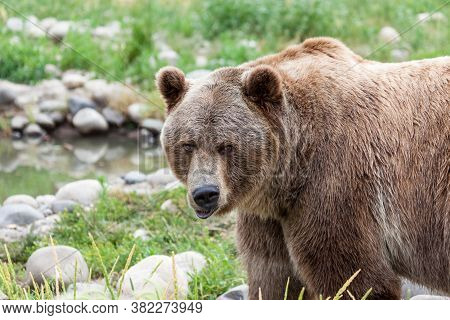 Close Up Of A Grizzly Bear Making A Funny Face As He Stands In The Grass Next To A Small Pond In Mon