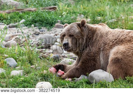 A Large Male Grizzly Bear Looking To See If He Is Being Watched As He Eats A Frozen Berry Treat On A