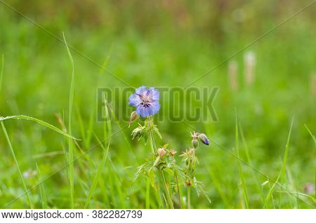 Close-up Of The Blue Blossom Of A Meadow Cranesbill With Rain Drops On Its Petals