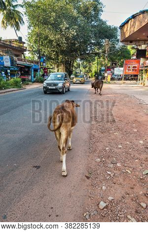Candolim, North Goa, India - November 23, 2019: Cows Walking On Street In Typical Traffic Situation