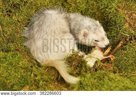 Silver Ferret Posing As A Hunting Predator In Forest Moss Decorated With Prey Skulls