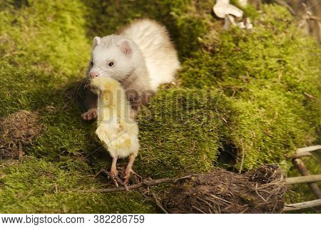 Ferret Posing As A Hunting Predator In Forest Moss Decorated With Prey Skulls