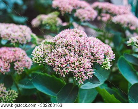 Flowering Plants From The Genus Succulent - Sedum, Close-up On A Flower Bed
