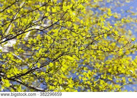 The First Green Foliage On A Real Birch Tree In The Spring Time Of The Year, A Close Up Of A Birch T