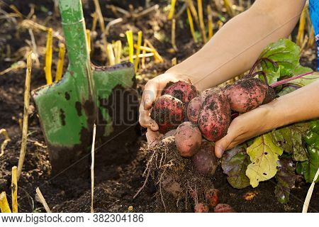 Fresh Ripe Red Potato Harvest Time. Red Potato In Hands. Homemade Sprouted Potatoes In Your Garden.