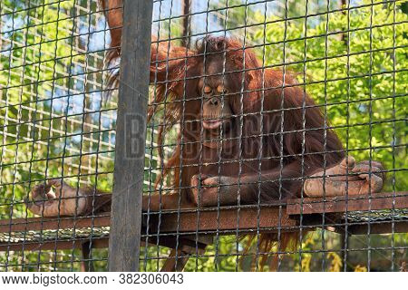 The Big Monkey Is Holding Onto The Bars Of The Cage And Looking At Its Hand. Imprisonment In Captivi