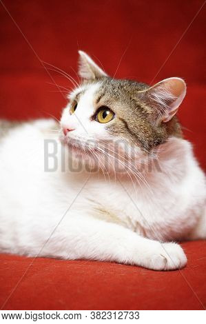 White With Brown White With Brown European Shorthair Cat On A Red Backgroundeuropean Shorthair Cat O