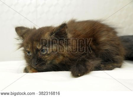 Scared Tortoise Kitten On A Light Background