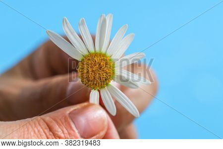 A Woman's Hand Plucks The Petals Of A Camomile , Daisies . Romantic Image In A Minimalist Style. The