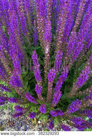 Wild Purple Salvia Sage Flower Bush Background