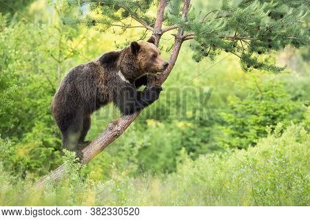 Magnificent Brown Bear Standing On Tree In Forest.