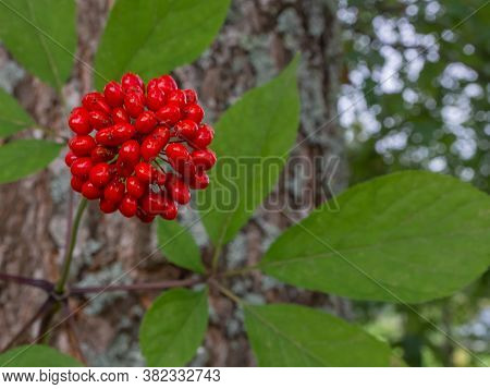 The Root Of The Medicinal Plant Ginseng. On A Gray Wooden Background. A Symbol Of Vitality And Healt