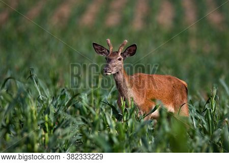 Juvenile Red Deer Standing In Corn In Summer Nature.