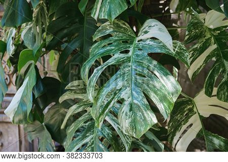Monstera Green Leaves Branch In Yard, Forest, Park, Garden, Close-up Outdoors Tropical Horizontal St