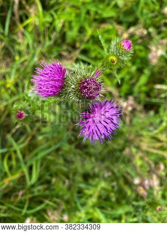 Spiky Purple Pink Thistle Wild Flower Close-up