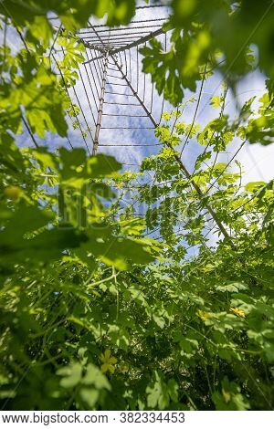 Bitter Melon (momordica Charantia) Plant Growing On Vertical Trellis