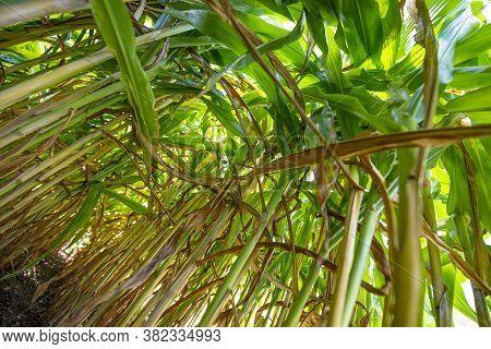 Corn (zea Mays) On A Field Close Up