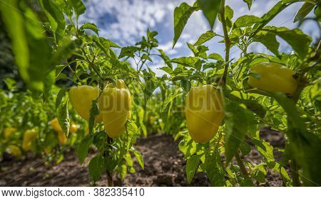 organic fresh bell peppers on a plants