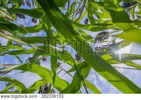 Sorghum bicolor crop in field, close up
