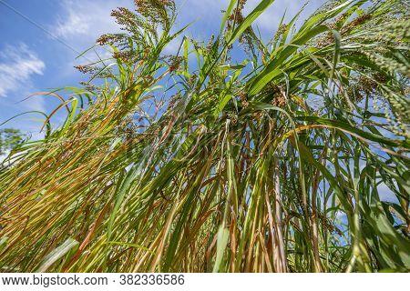 Panicum Miliaceum; Proso Millet On A Field