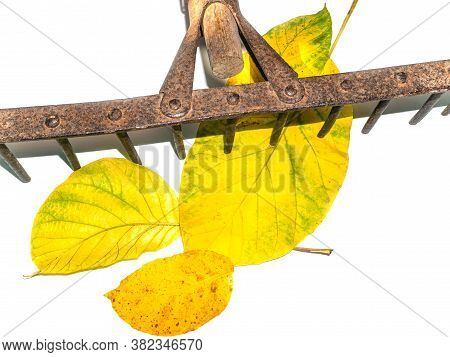Iron Rake For Cleaning Leaves Hand Tools. Agricultural Activities. Farmer. Rake The Foliage Of Trees