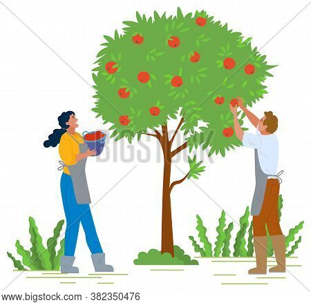 Man And Woman In Apron And Rubber Boots Picking Red Apples In Orchard. Gardener Putting Ripe Fruits