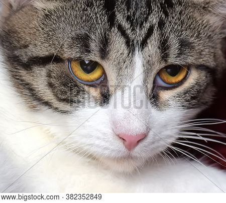 European Shorthair Gray Cat With Stripes And A White Breast And Paws And Yellow Eyes
