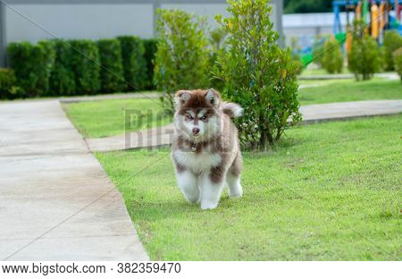 Cute Siberian Husky Puppy On Grass. Siberian Husky Puppy Outdoors On A Walk. Little Red And White Bl