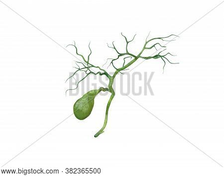 Gallbladder Anatomy Isolated On White Background, Human Gallbladder Connection To The Bile Ducts, Pa