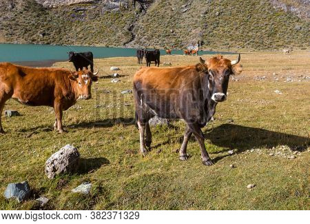 Herd of cows at summer green field .Agriculture farming rural pasture