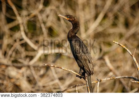 Detail Of Cormorant Sitting On The Branch On Shoreline Of Mexican Oaxaca State