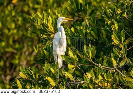 White Heron Sitting In Mangrove Bush On The Banch Of Lake Near Puerto Escondido City In Mexico